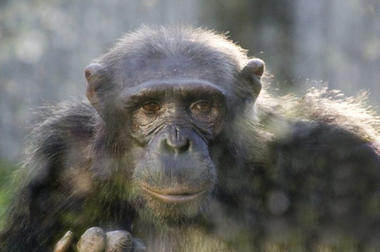 chimpanzee-close-up