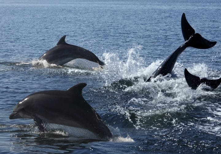 dolphins-alzheimers