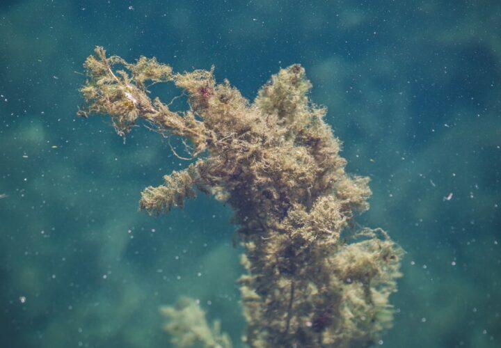 seaweed drug