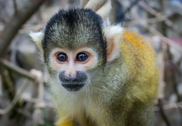 Researchers found that an experimental drug safely reduced Alzheimer's pathology and improved the cognition in elderly squirrel monkeys.